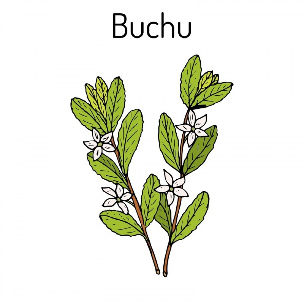 Buchu South African Miracle Herb 250g