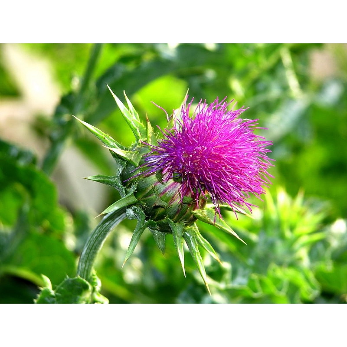 Milk Thistle Silymarin Whole Herb And Seed Blend