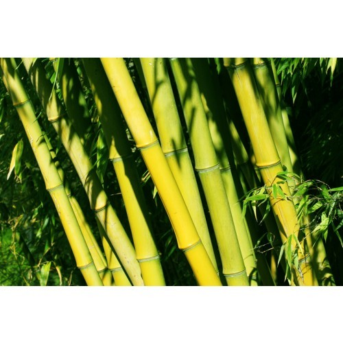 Bamboo Tabashir Natural High Strength Silica Ancient