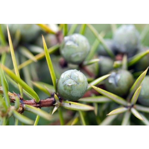 Juniper Berry (Ground) Health / Diuretic