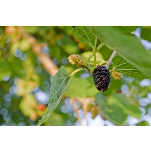 Black Mulberries (Blood Sugar / Facial Redness Reduction / Superfruit) 500g