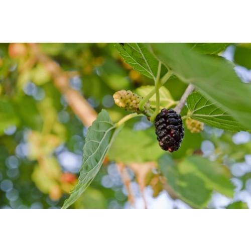 Black Mulberries (Blood Sugar / Facial Redness Reduction / Superfruit) 500g