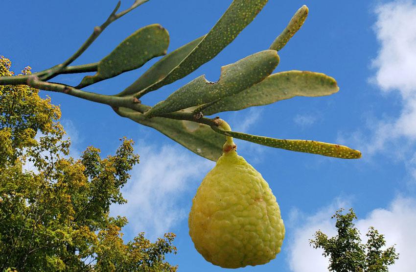 desert lime Australian superfoods UK