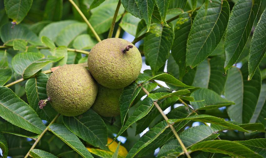 dr hulda Clarke green black walnut supplement