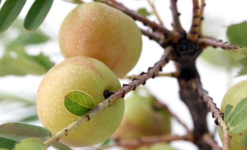 buy Amla Fruit England