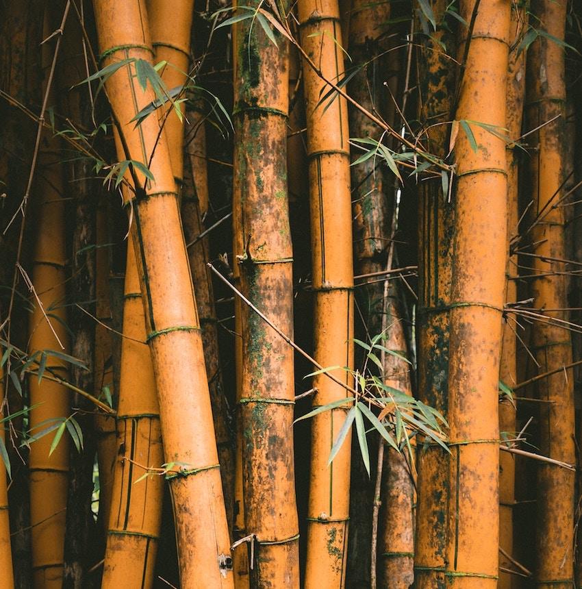 Bamboo Tabishir Extract