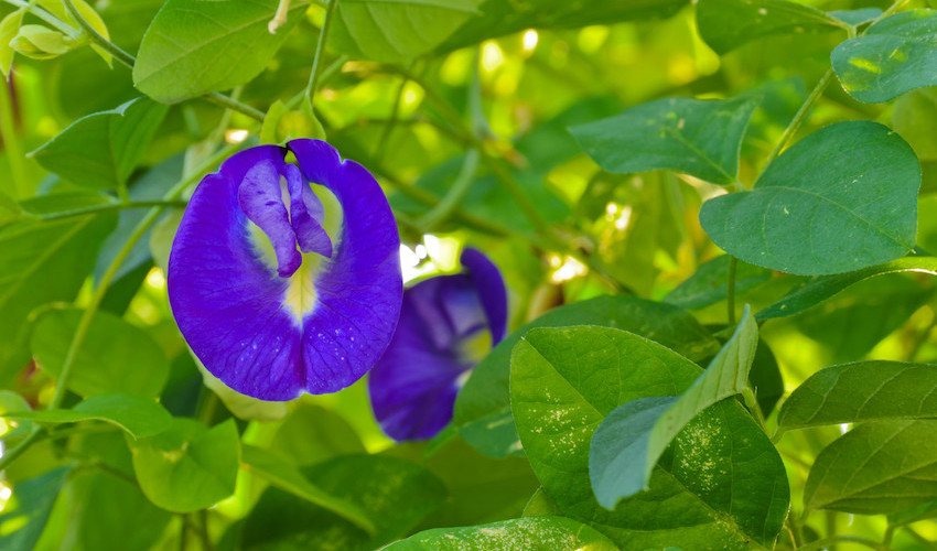 butterfly pea flower benefit health benefit