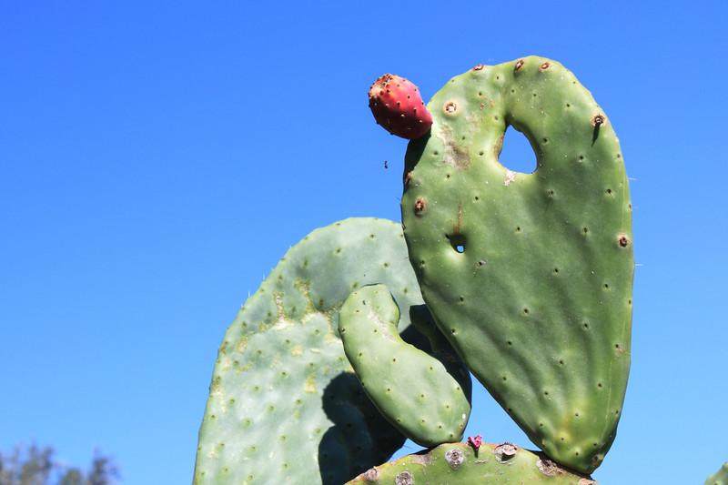 nopal cactus organic