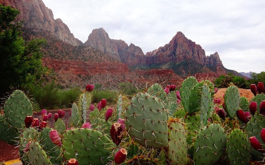 organic nopal cactus