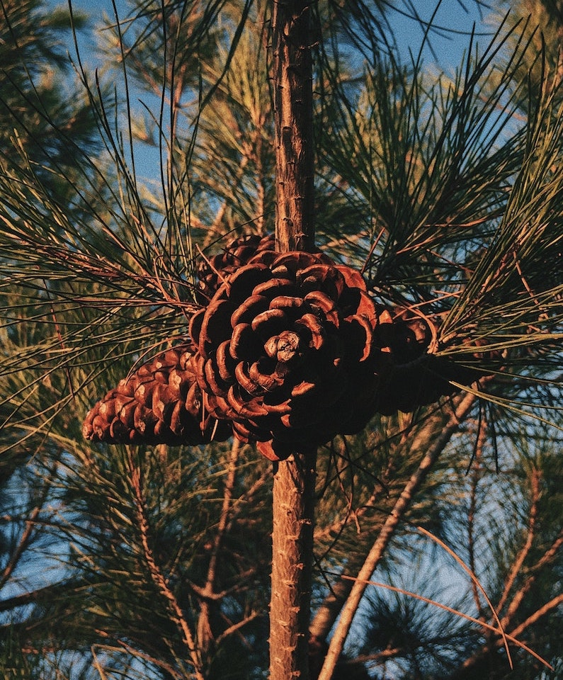 Pine_pollen_organic_powder