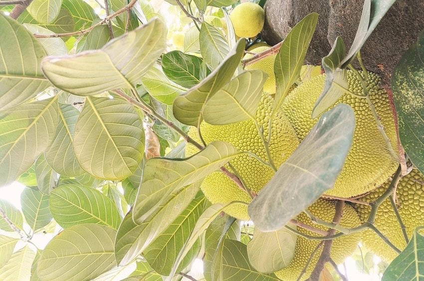buy jackfruit UK