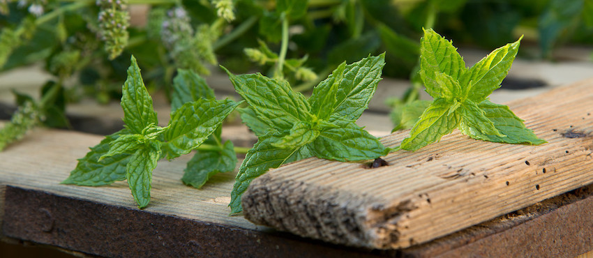 peppermint essential oil detox