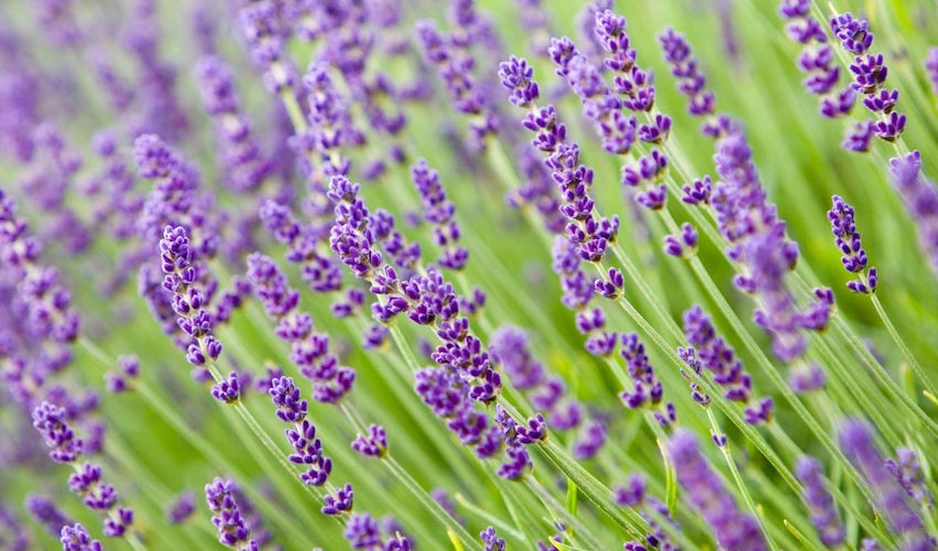 lavendar essential oil sourced from England Ancient Purity