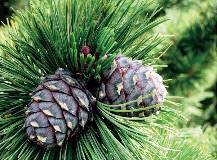 pinus cembra reed diffuser UK