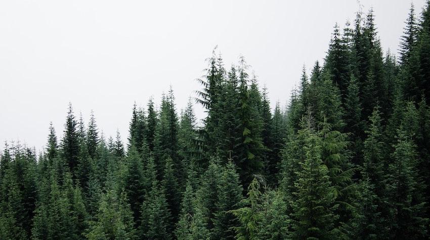 organic pine needle essential oil