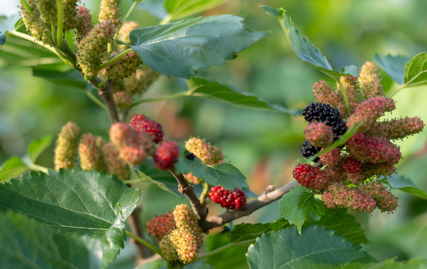 ancient purity mulberries