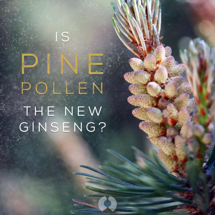 pine pollen UK tincture surthrival