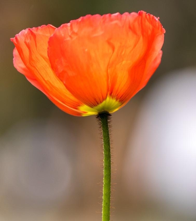 California poppy Tea herbal tea UK California tea benefits