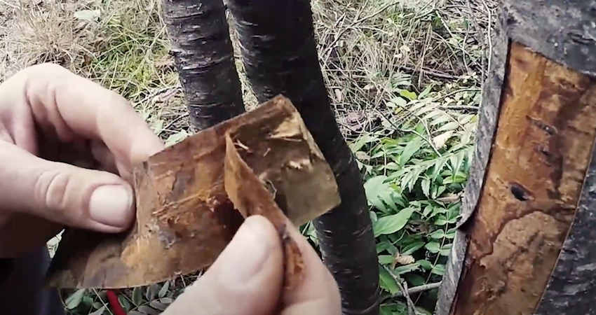 how to collect wild cherry inner bark