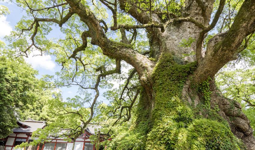 camphor tree balm