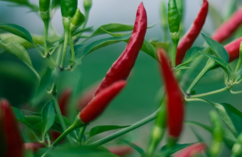 best form of cayenne oil cayenne pepper extract