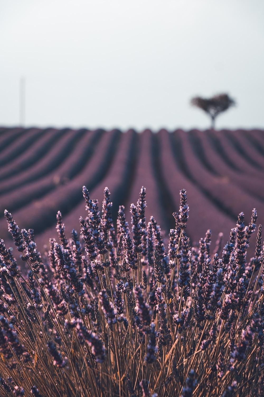 Lavender_england_unquie