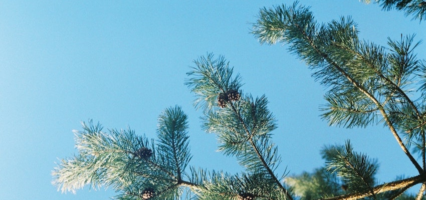 pine needle oil immune system spike proteins