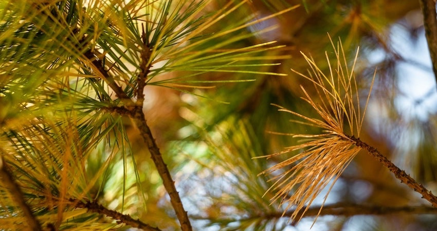 stop spike proteins pine needle essential oil shedding detox from vax