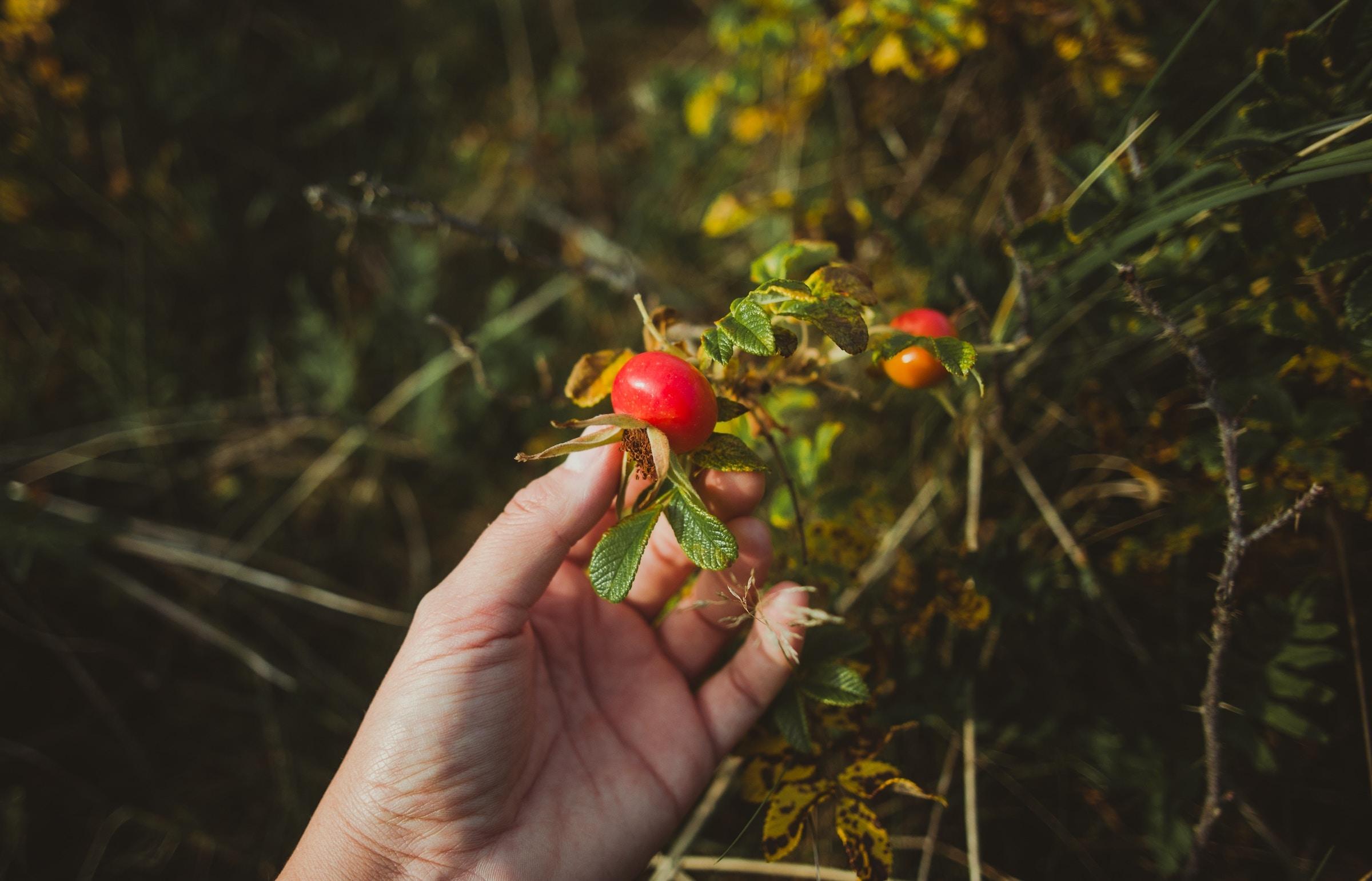 rosehip_seed_oil_organic